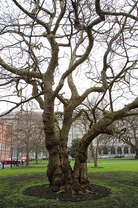 Tree, Trinity College, Dublin, Ireland //