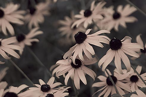 Black Eyed Susans ( Variation 3 of 3 ), Brentwood Forest, Saint Louis, Missouri //