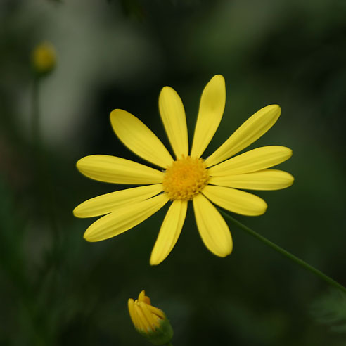 Yellow Daisy, Shaws Gardens, Saint Louis, Missouri //