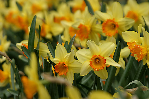 Daffodills, Shaws Gardens, Saint Louis, Missouri //