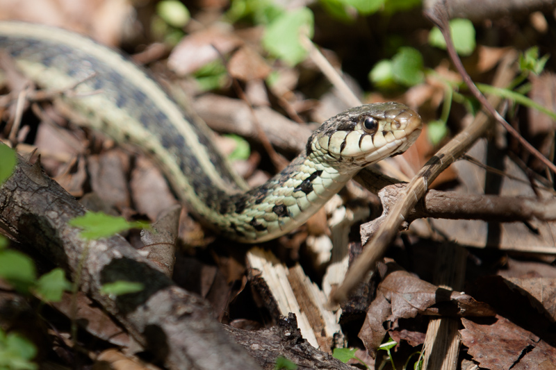 Eastern Gartersnake (thamnophis sirtalis sirtalis) found in Great Falls National Park