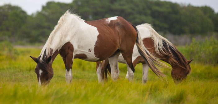 Wild Horses, Assateague Island